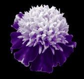 白紫罗兰色花Tagetes 特写镜头;黑色与裁减路线的被隔绝的背景 开花的万寿菊 免版税库存图片