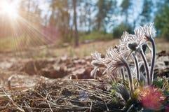 白头翁的美丽的毛茸的芽在阳光下 免版税库存图片