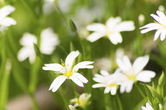白头翁(银莲花属nemorosa) 免版税库存图片