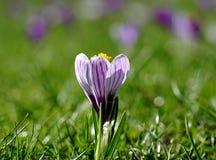 白紫色番红花 免版税图库摄影