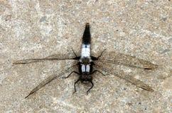 黑白蜻蜓 免版税库存照片