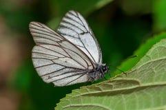 黑白蝴蝶Aporia crataegi在绿色叶子特写镜头的自然生态环境 免版税库存照片