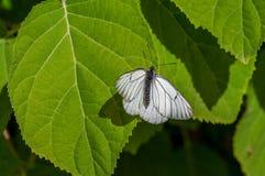 黑白蝴蝶Aporia crataegi在绿色叶子特写镜头的自然生态环境 库存图片