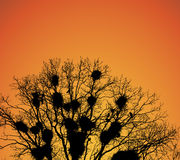 白嘴鸦嵌套在树枝的在日落。 免版税图库摄影
