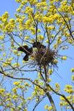 白嘴鸦扭转在开花的槭树的分支的巢 库存图片