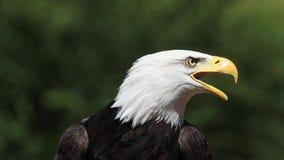 白头鹰、haliaeetus看成人leucocephalus的画象,叫和离开, 影视素材