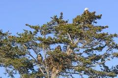 白头鹰与母亲和两只雏鸟的嵌套树 免版税库存照片