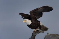白头鹰在漂流木头,荷马阿拉斯加栖息 免版税库存照片