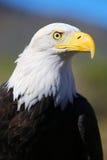 白头鹰在科罗拉多 库存图片