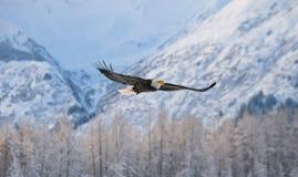 白头鹰在飞行中在多雪的山背景  免版税库存图片