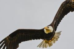 白头鹰在飞行中, La推挤, WA 免版税库存图片