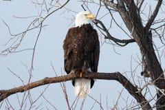 白头鹰坐分支 免版税库存照片