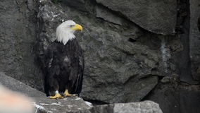 白头鹰坐岩石 影视素材