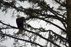 白头鹰坐树枝 免版税图库摄影