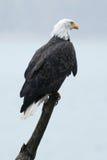 白头鹰坐棍子 免版税图库摄影