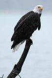 白头鹰坐棍子 图库摄影