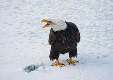 白头鹰坐雪 美国 Chilkat河 飞机场 免版税图库摄影