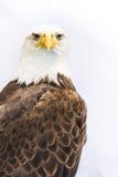 白头鹰或美国老鹰 免版税库存照片