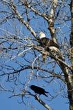 白头鹰栖息与一只半被吃的灰鼠,当乌鸦看时 库存照片