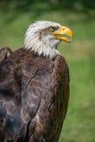 白头鹰特写镜头与开放的额嘴的 免版税库存图片