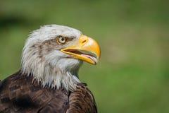 白头鹰特写镜头与开放额嘴的 库存图片