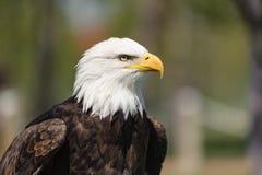 白头鹰特写镜头外形 免版税库存照片