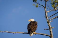 白头鹰牺牲者搜索 免版税库存照片
