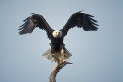 白头鹰着陆 库存图片