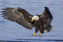 白头鹰着陆 免版税库存图片
