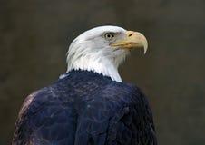 白头鹰纵向 免版税库存图片
