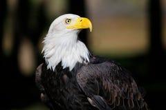 白头鹰纵向 免版税库存照片