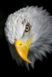 白头鹰纵向 库存图片