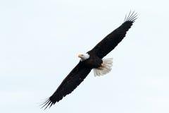 白头鹰腾飞 免版税库存图片
