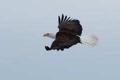 白头鹰腾飞 库存照片