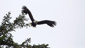 白头鹰采取飞行的Haliaeetus leucocephalus 免版税库存照片
