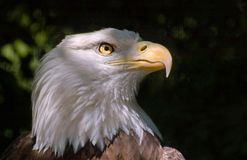 白头鹰题头 库存图片