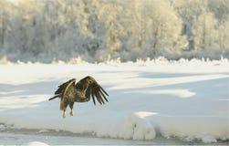白头鹰飞行 免版税库存照片