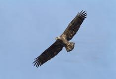 白头鹰飞行 库存图片