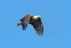 白头鹰鱼飞行 图库摄影
