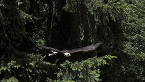 白头鹰, haliaeetus leucocephalus,在飞行中成人,离开从分支, 股票录像