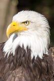 白头鹰, Haliaeetus leucocephalus,是标志美国 免版税库存图片