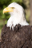白头鹰, Haliaeetus leucocephalus,是标志美国 免版税库存照片