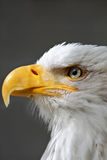 白头鹰头关闭 库存照片