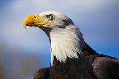 白头鹰水平的关闭从边有蓝天背景 免版税图库摄影