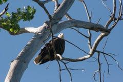 白头鹰结构树 图库摄影