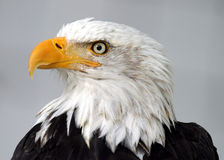 白头鹰 库存图片