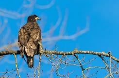 白头鹰(Haliaeetus leucocephalus)在不列颠哥伦比亚省, Canad 免版税库存照片