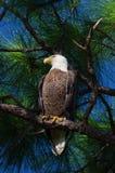 白头鹰(Haliaeetus leucocephalus) 免版税库存图片