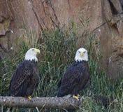 白头鹰Haliaeetus栖于leucocephalus的对 免版税库存照片