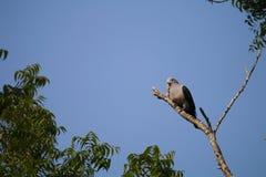 白breasted waterhen Amaurornis phoenicurus 免版税库存照片